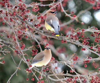 Two cedar waxwing shot in February 2015, Danville, Pennsylvania